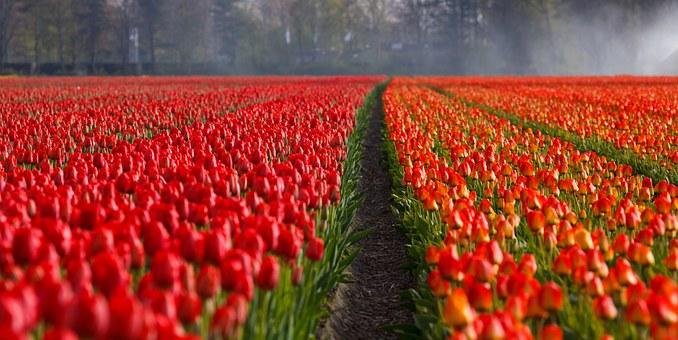 Polja tulipana u Nizozemskoj